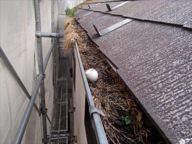 軒樋の中にはハトの卵らしきものが!草がびっしり生えてしまい、雨樋では無くなってしまっています。
