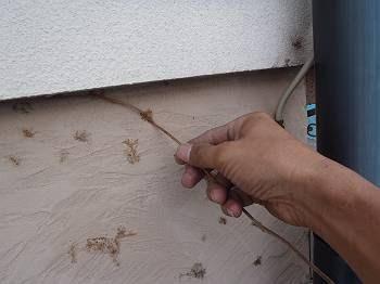 ツタは枯れているので剥がすことは容易ですが、2階まで伸びていました。