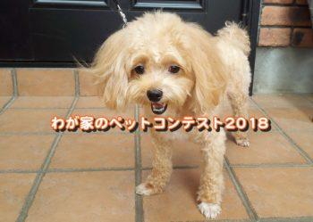 「わが家のペット写真コンテスト2018」寝顔がかわいい♪マルチーズ×トイプードルのミックス犬