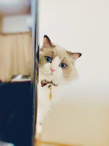 「わが家のペット写真コンテスト2019」優しくてお利口なラグドールの猫ちゃん!