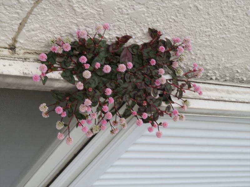 なぜか窓のサッシ部分から植物が生えていました。ちょっとした隙間と土があれば育つヒメツルソバのようです。